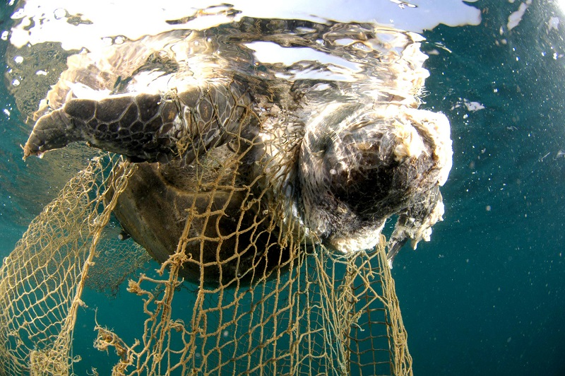 corpse_of_a_sea_turtle_drowned_in_a_fishing_net