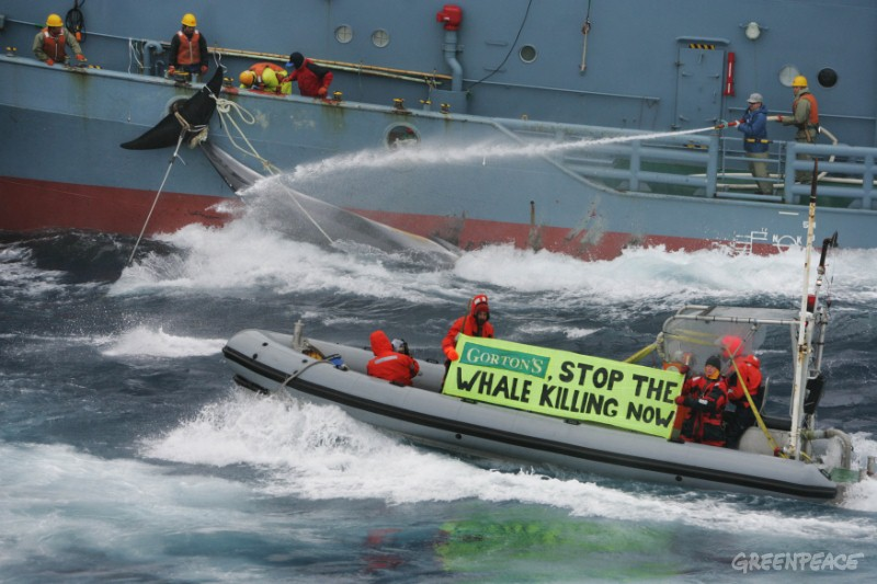 Greenpeace activists try to hinder the transfer of whales from a catcher ship to the Nisshin Maru whaling factory ship. Southern Ocean, 11.01.2006