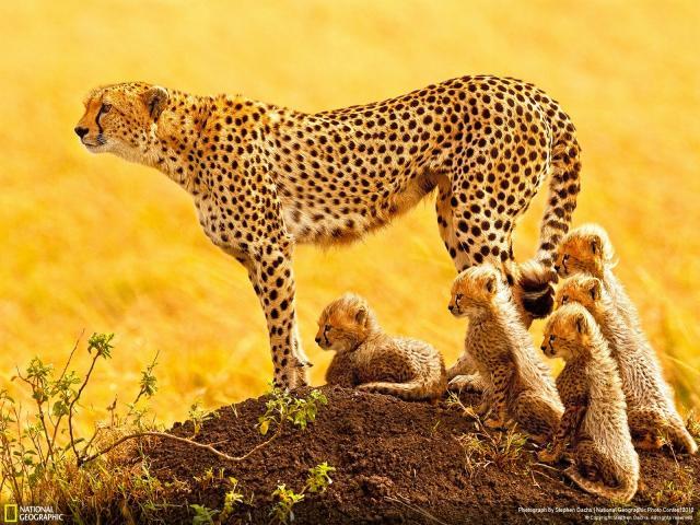 el-guepardo-al-borde-del-peligro-de-extincion