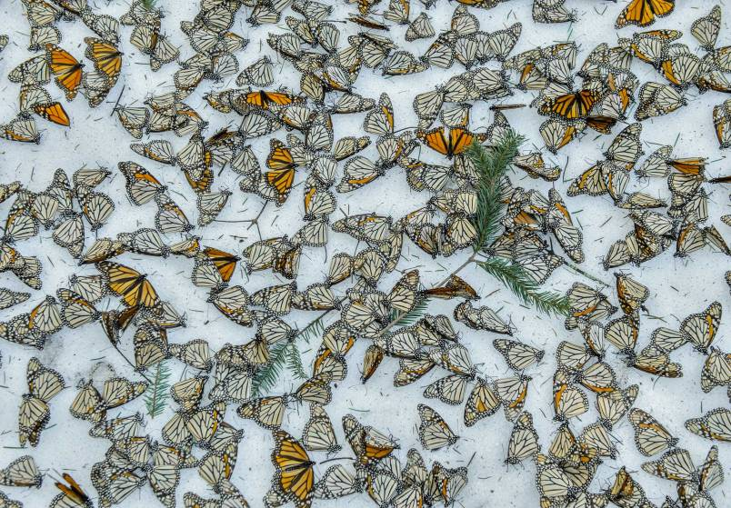 A carpet of Monarch Butterflies covers the forest floor of El Rosario Butterfly Sanctuary after a snow storm that hit the state of Michoacán in Mexico on March 2015. On March 8th and 9th of 2016 a strong snow storm hit the mountains of Central Mexico creating havoc in the wintering colonies of Monarch Butterflies just when they were starting their migration back to U.S.A. and Canada. Monarch butterflies are surprisingly resilient and they can survive several days in below zero temperatures as long as they remain dry. Deforestation reduces the shelter for the butterflies making them more vulnerable to the weather elements. And although illegal logging has been curbed thanks to the conservation efforts in Mexico, climate change is creating an increase of these unusual weather events which represent one of the biggest challenges for these insects during their hibernation period.