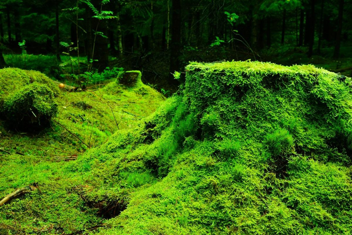 5d88ff2db56 ¿Por qué debes evitar el musgo en Navidad  – Pensemos Verde